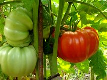 Rote riesige Tomate Stockfotografie