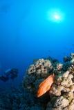 Rote Rifffische mit Taucher Stockbilder