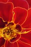 Rote Ringelblumeblumenblätter Stockfotografie