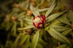 Rote rododendron Knospe Lizenzfreie Stockfotos