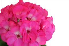 Rote rosa Pelargonie stockbilder