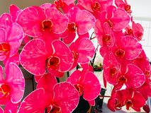 Rote rosa Showbrandung der Blume Stockbild