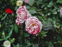 Rote, rosa und weiße Mischrosen stockbilder