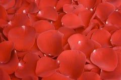 Rote rosafarbene Blumenblätter Lizenzfreie Stockbilder