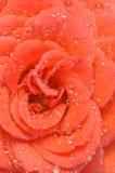 Rote rosafarbene Blumenblätter abgedeckt durch Wassertropfen Stockfotografie