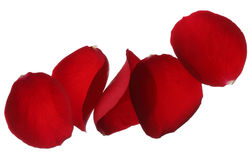 Rote rosafarbene Blumenblätter getrennt auf weißem Hintergrund Stockfoto