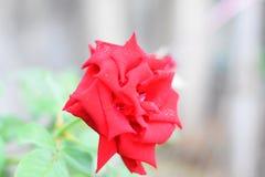 Rote rosafarbene Blumenblätter mit Regen lässt Nahaufnahme fallen Rot stieg stockbilder
