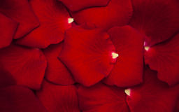Rote rosafarbene Blumenblätter Stockfotos