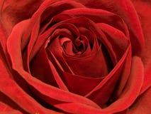Rote Rose Stockbilder