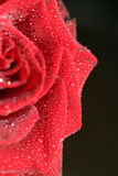 Rote Rose Stockbild