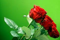 Rote Rose Lizenzfreie Stockfotos