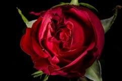 Rote Rose Stockbild