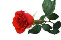 Rote Rose Lizenzfreie Stockfotografie