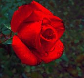Rote Rose stockfoto
