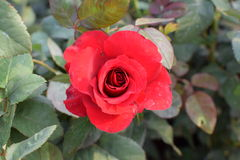 Rote Rose!! Stockbilder