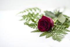 Rote Rose altersschwach auf Grün auf weißem Hintergrund stockbild