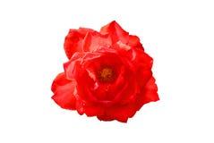 Rote Rose auf dem weißen Hintergrund Stockfotos