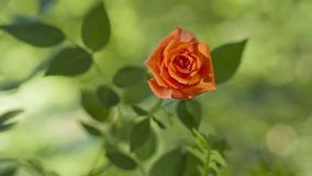 Rote Rose auf der Niederlassung im Garten Stockfotografie