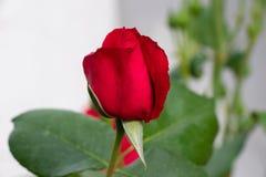 Rote Rose auf rosebush lizenzfreie stockbilder