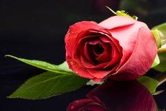 Rote Rose auf Schwarzem Stockbild