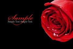 Rote Rose auf Schwarzem (mit Beispieltext) Stockfoto