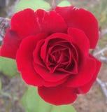 Rote Rose In Bloom Lizenzfreie Stockfotografie