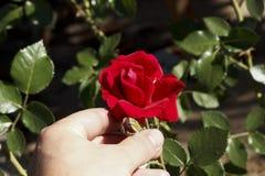 Rote Rose in der Hand Lizenzfreies Stockbild