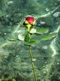 Rote Rose, die in Wasser schwimmt lizenzfreie stockfotos