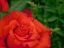 Rote Rose in einem Garten Stockbild