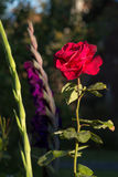 Rote Rose in einem grünen Garten Stockfotos