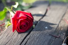 Rote Rose für spezielle Person stockbild