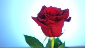 Rote Rose gedreht über blauen Hintergrund Symbol der Liebe Valentine Card-Design stock video