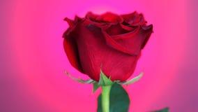 Rote Rose gedreht über rosa Hintergrund Symbol der Liebe Valentine Card-Design stock video
