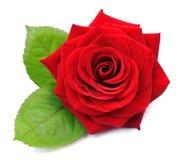 Rote Rose getrennt stockfoto