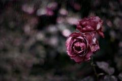 Rote Rose im Regen Lizenzfreie Stockfotografie