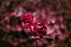 Rote Rose im Regen Stockbilder