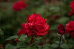 Rote Rose im Regen Stockfotos