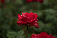 Rote Rose im Regen Lizenzfreies Stockbild
