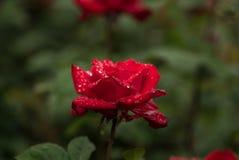 Rote Rose im Regen Lizenzfreie Stockbilder