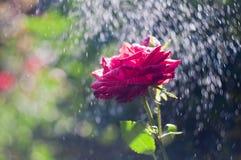 Rote Rose im Sommerregen stockbild