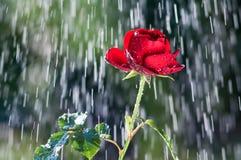 Rote Rose im Sommerregen stockfoto