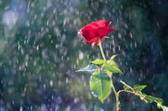 Rote Rose im Sommerregen lizenzfreie stockfotografie