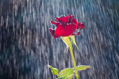 Rote Rose im Sommerregen lizenzfreie stockfotos