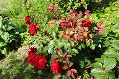 Rote Rose im wilden Garten stockbilder
