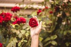 Rote Rose im Yard mit einer Hand für Valentinstag stockbild