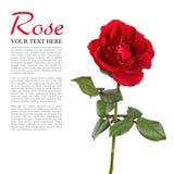 Rote Rose lokalisierte Lizenzfreies Stockfoto