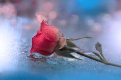 Rote Rose mit buntem Waterdrop Lizenzfreie Stockfotos