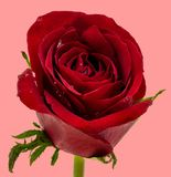 Rote Rose mit Wassertropfen auf rosa Hintergrund lizenzfreie stockfotos