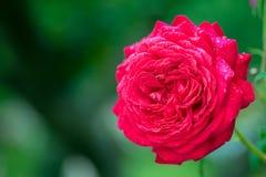 Rote Rose in voller Blüte mit Tautropfen des Gartens Stockfotografie