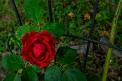 Rote Rose von Salem MO lizenzfreie stockfotografie